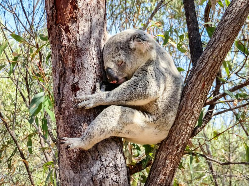 En australisk lös koala som sover i eukalyptus eller eukalyptusträd Magnetisk ö, Australien arkivbilder