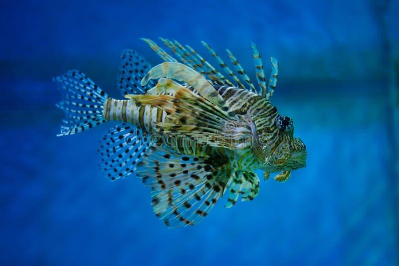 En av de mest giftiga invånarna av den marin- Lionfish-sebran för korallrev arkivfoto