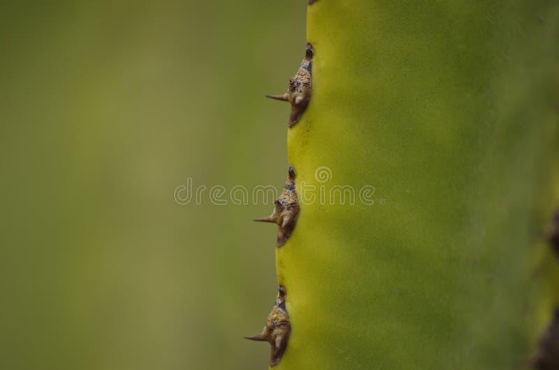 En av kaktuns från Tenerife royaltyfria bilder