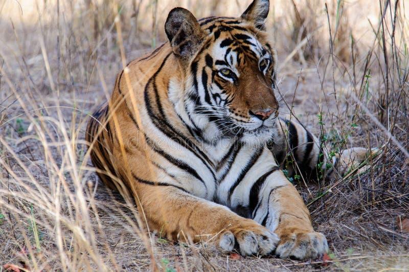 En avkopplad och tjusa tiger arkivbild