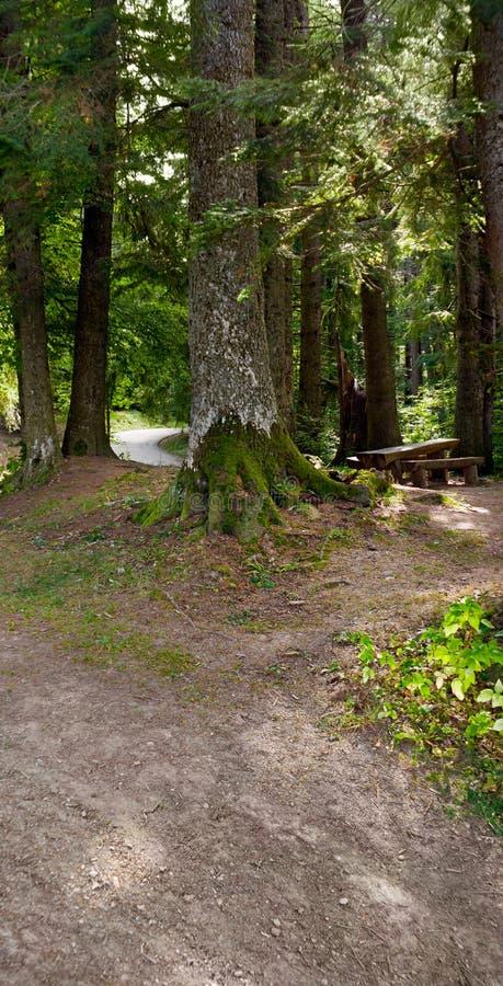 En bänk och en trätabell som ses i en cederträ- och granträdskog arkivfoto