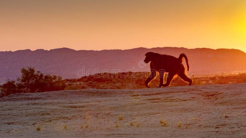 En babian stegar purposefully mot resningsolen på reserven för den Augrabies nedgångnaturen i den nordliga udden, Sydafrika royaltyfri bild