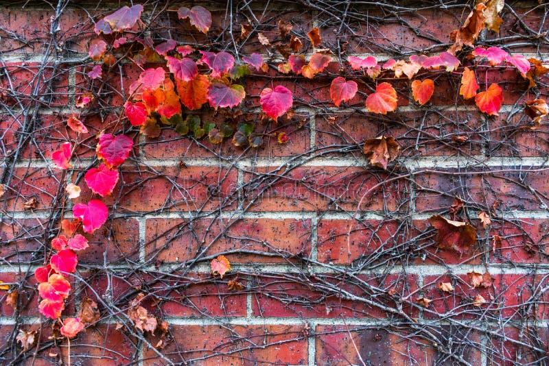 En bakgrund av röda Autumn Leaves och vinrankor på en tegelstenvägg royaltyfri foto