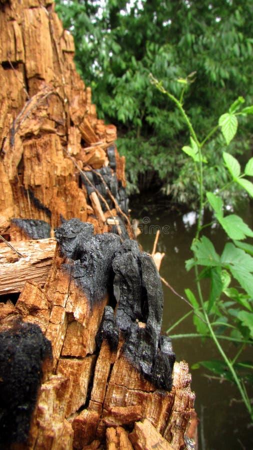 En bakgrund med bruna och gråa skuggor av en gammal stam av ett träd som skadades av brand och nya växter royaltyfria bilder