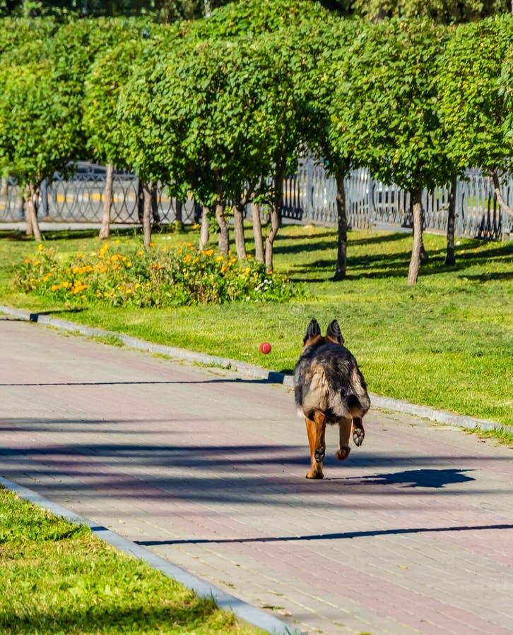 En bakre sikt av en tysk herde för stor härlig hund kör bak en röd boll arkivbilder