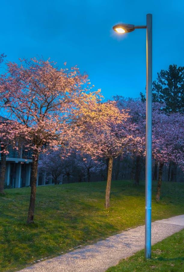 Körsbärsröd blomningträdgård II royaltyfri bild