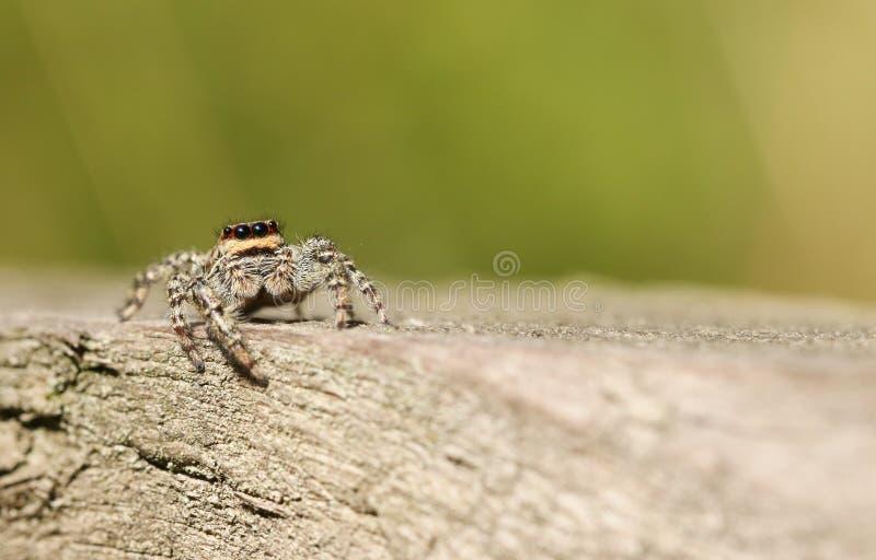 En banhoppningspindelMarpissa muscosa som väntar för att slå ner på dess nästa mål arkivfoto