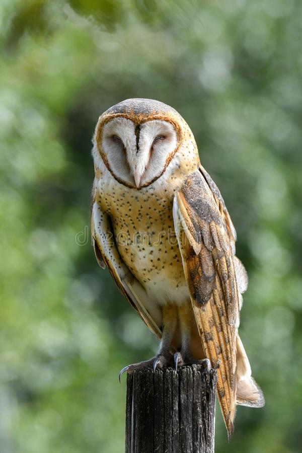 En barn Owl Roosting i Everglades arkivbilder