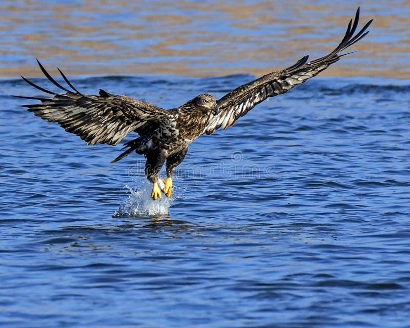 En barnsliga skalliga Eagle Captures en fisk arkivbilder
