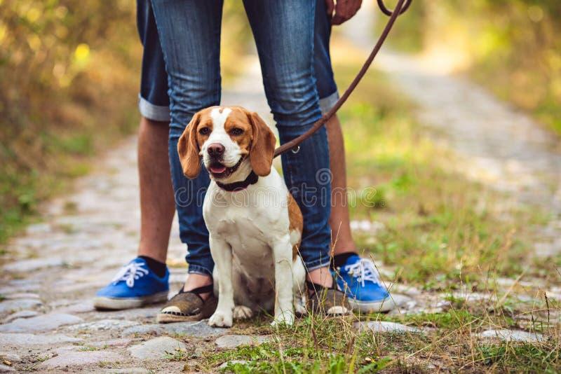 En beaglehund sitter på en koppel royaltyfria bilder