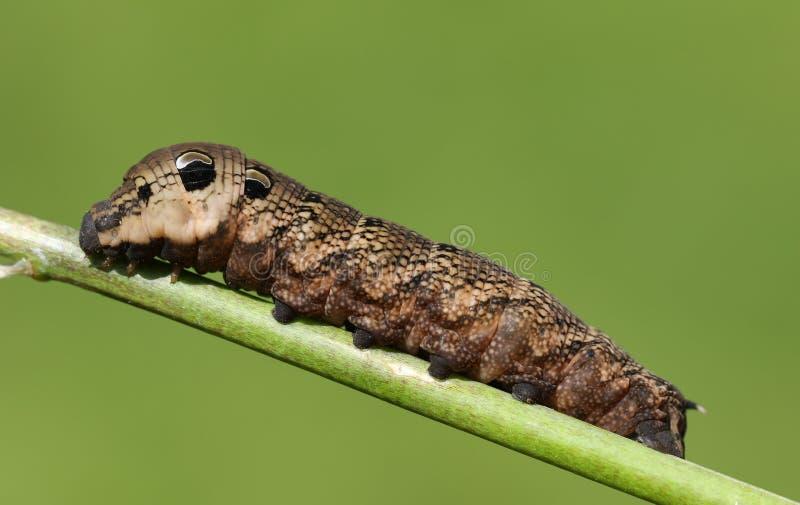 En bedöva elefantHök-mal Caterpillar Deilephila elpenor som sätta sig på en växtstam royaltyfri bild
