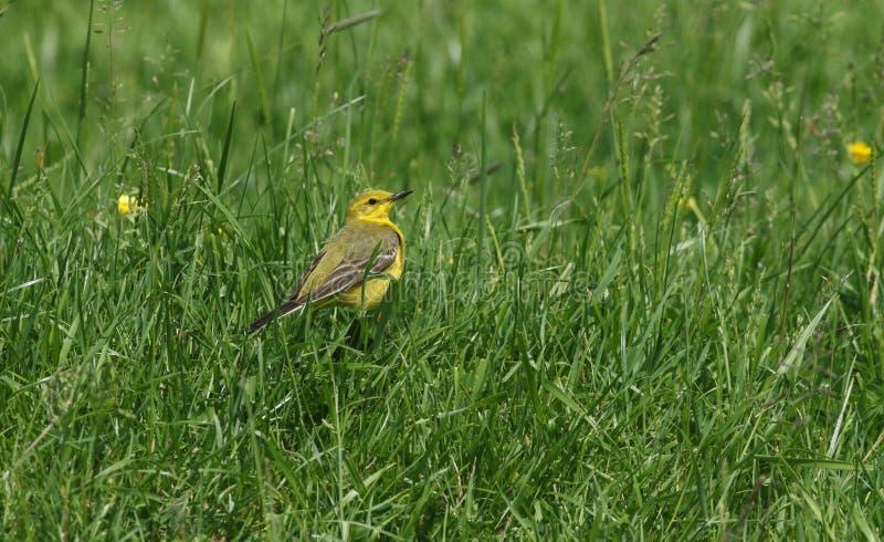En bedöva för sädesärlaMotacilla för man gul jakt för flava för kryp i en äng royaltyfri foto