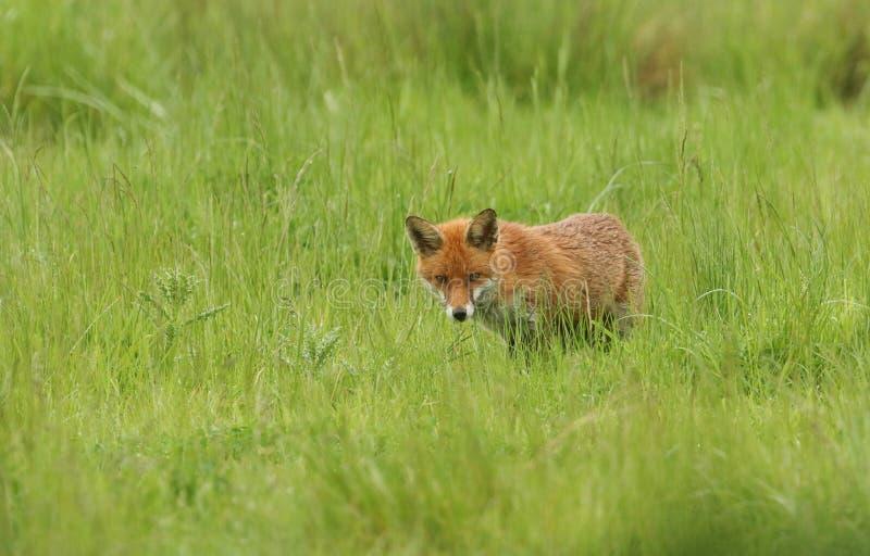 En bedöva för Vulpesvulpes för röd räv jakt i en gräs- äng arkivfoto