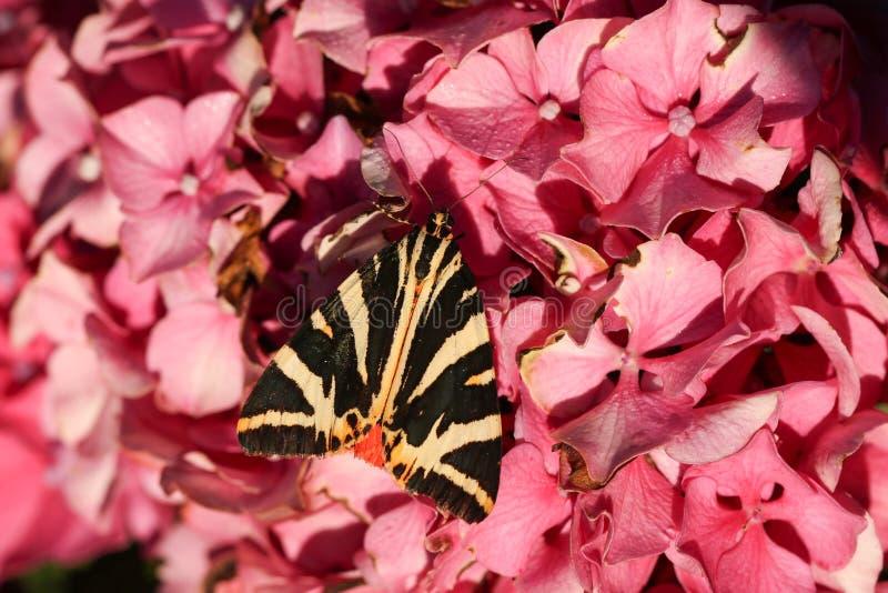 En bedöva Jersey Tiger Moth Euplagia quadripunctaria som sätta sig på en vanlig hortensiablomma arkivfoto