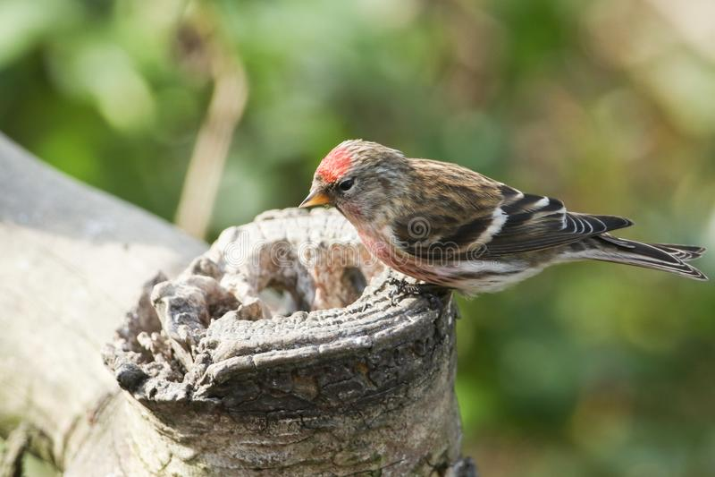 En bedöva manlig Lesser Redpoll Carduelis kabaret sätta sig på en matning för trädstubbe arkivfoto