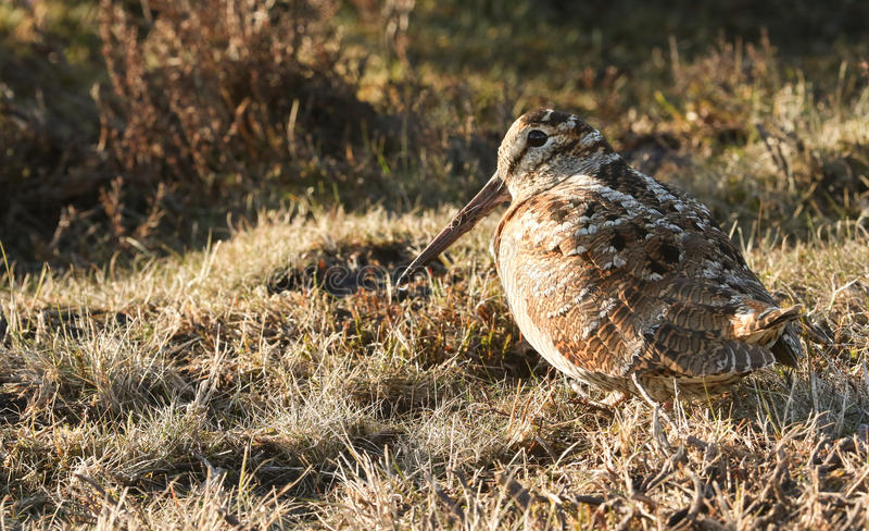 En bedöva morkulla, Scolopaxrusticola som sitter i gräset Det kamoufleras så väl att det kan knappast ses royaltyfria foton