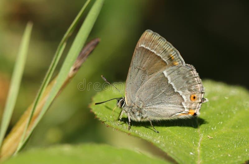 En bedöva purpurfärgad Favonius för Hairstreakfjäril som quercus söker för fuktighet på ett blad på en varm solig dag royaltyfri bild
