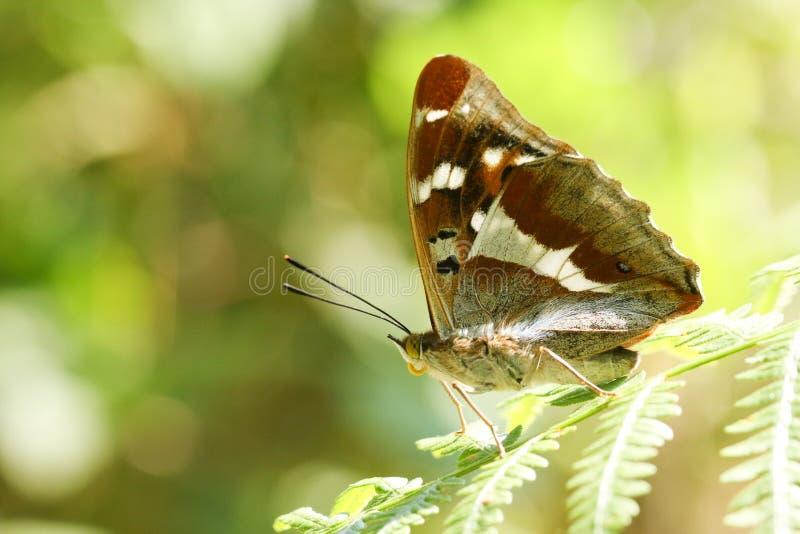 En bedöva sällsynt manlig iris för Apatura för fjäril för purpurfärgad kejsare som sätta sig på ett bräkenblad i skogsmark royaltyfri fotografi