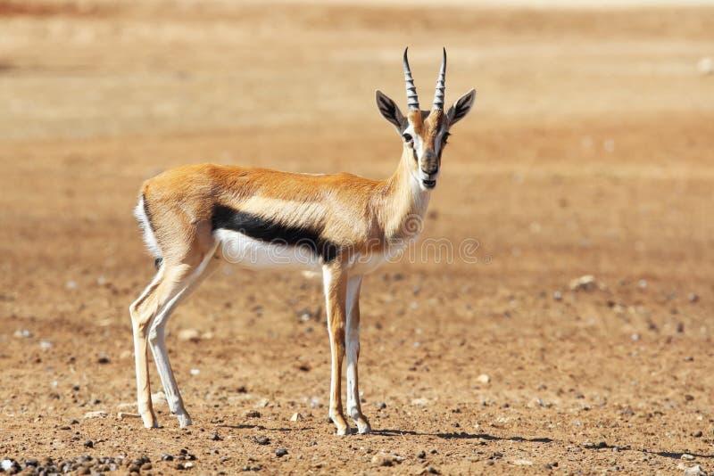 En behagfulla Thomson Gazelle royaltyfria bilder