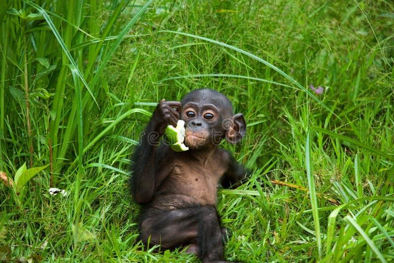En behandla som ett barnbonobo äter något congo demokratisk republik Lola Ya BONOBOnationalpark fotografering för bildbyråer