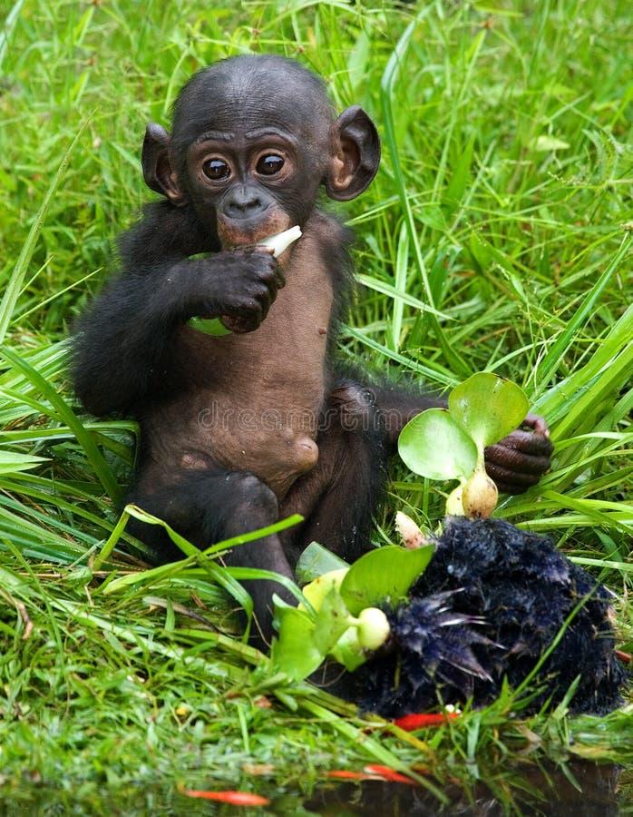 En behandla som ett barnbonobo äter något congo demokratisk republik Lola Ya BONOBOnationalpark arkivbild