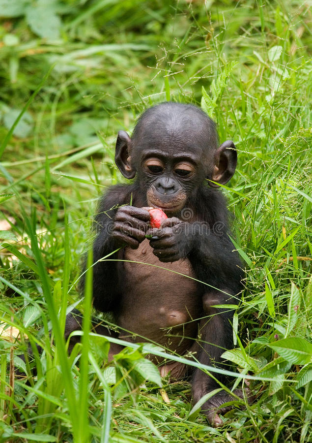 En behandla som ett barnbonobo äter något congo demokratisk republik Lola Ya BONOBOnationalpark royaltyfri foto