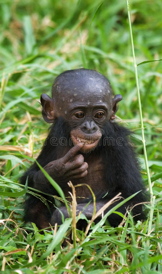 En behandla som ett barnBonobo sitter i gräset congo demokratisk republik Lola Ya BONOBOnationalpark royaltyfria foton