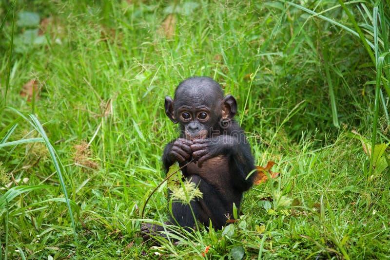 En behandla som ett barnBonobo sitter i gräset congo demokratisk republik Lola Ya BONOBOnationalpark royaltyfria bilder