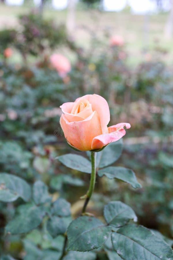 En Beverly Rose i trädgård arkivfoton