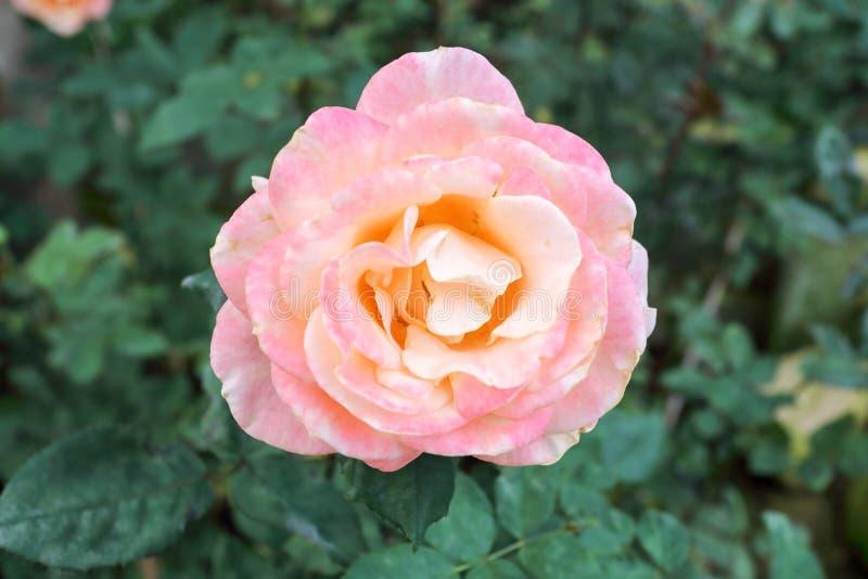 En Beverly Rose i trädgård arkivbild
