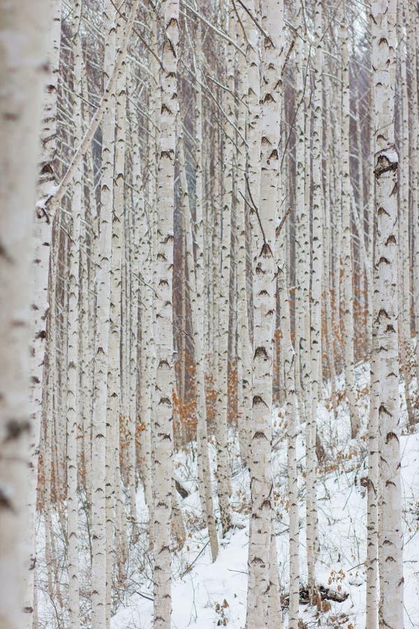 En bild av björkskogen som fylls med björkträdet royaltyfri fotografi