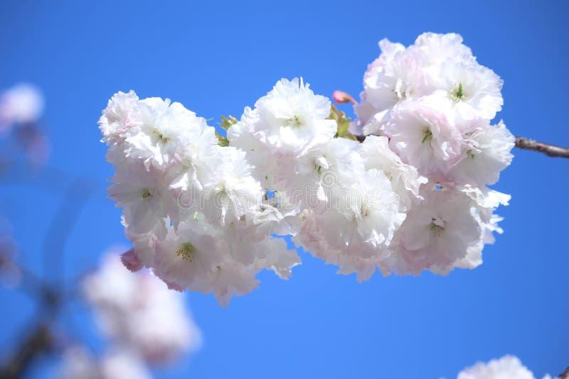 En bild av körsbärsröda blomningar royaltyfria bilder