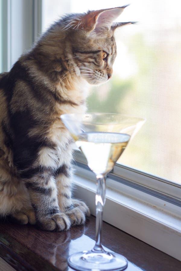 En bild av en Maine Coon kattunge som sitter på en fönsterfönsterbräda nära ett champagneexponeringsglas royaltyfri fotografi