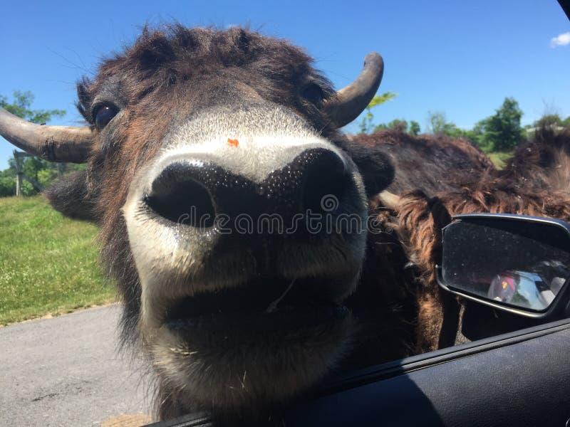 En bison kommer att se mig i fönstret av min bil, så att jag matar honom royaltyfri bild