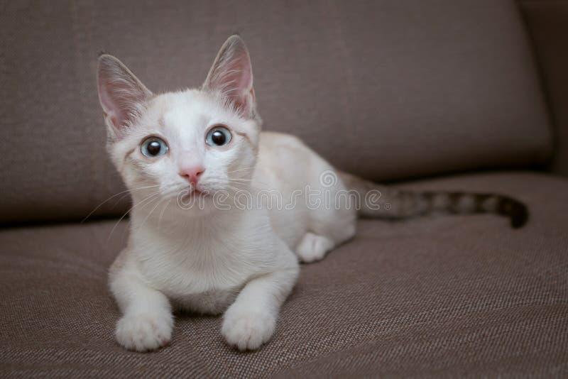 En blåögd kattunge med rosa färger gå i ax, och en randig svans ligger på soffan fotografering för bildbyråer