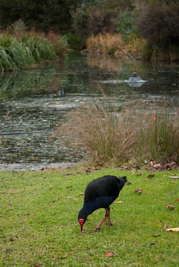 En blå fågel kallade Pukeko i botaniska trädgårdarna i Melbourne royaltyfri fotografi