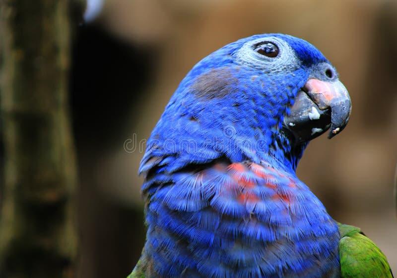 En blå hövdad papegoja med hans huvud vände litet arkivbilder