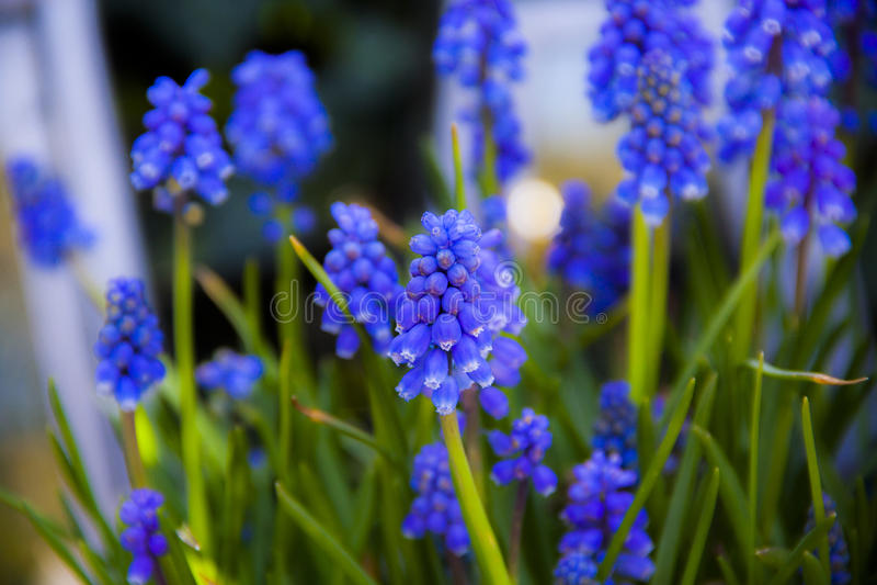 En blå hyacint arkivfoton