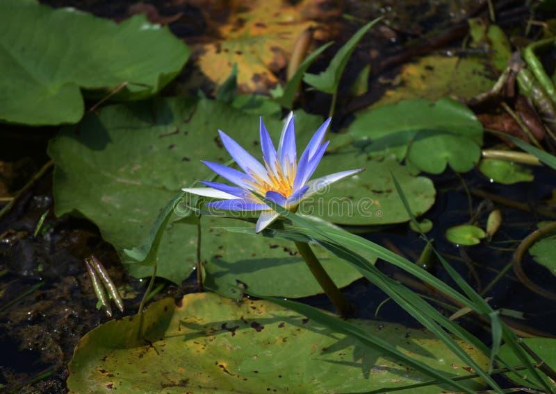 En blå liljablomma i floden som gjuter det, är skugga på dess blad royaltyfri bild
