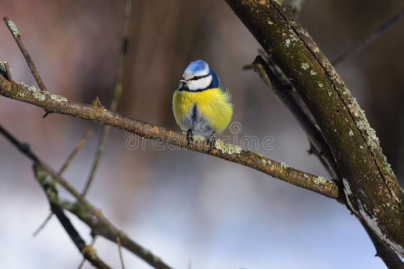 En blå mes för liten fluffig eurasian sitter på entäckt filial royaltyfri bild