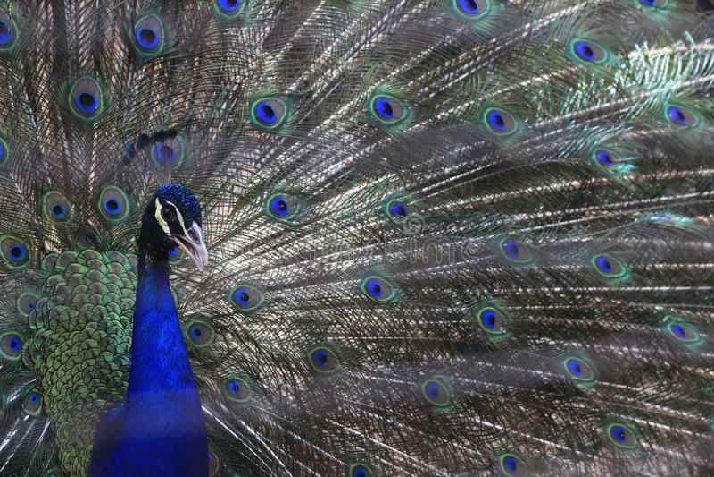 En blå peafowl (Pavocristatus) fördelar hans fjädrar för att tilldra arkivfoto