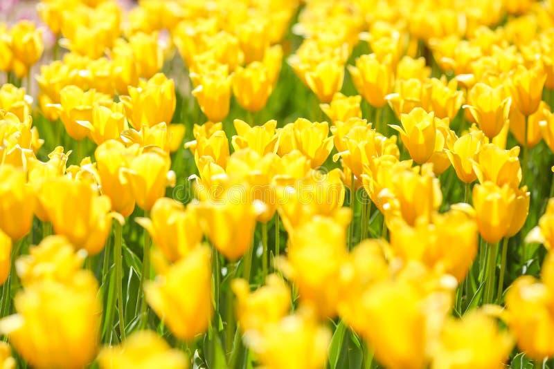 En blandningserie av r?da, gula, vita och purpuletulpan fotografering för bildbyråer