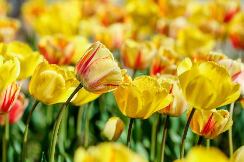 En blandningserie av r?da, gula, vita och purpuletulpan royaltyfri fotografi