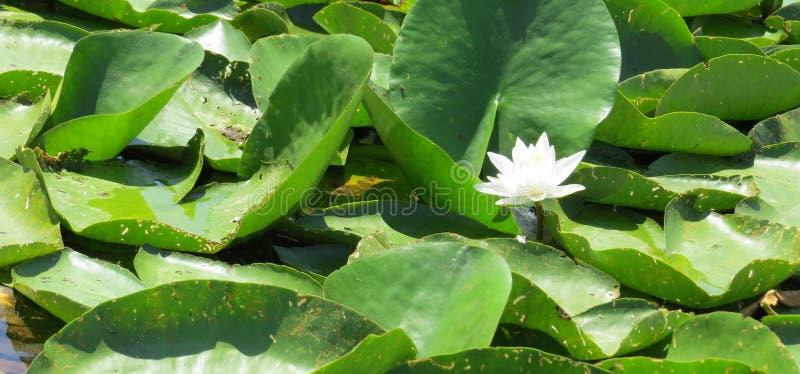 En blomma av den ensamma liljan i en sjö i Montenegro royaltyfria foton