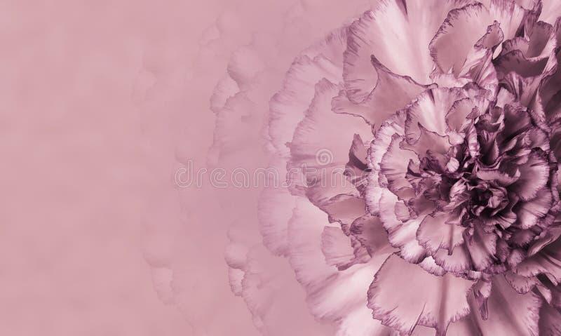 En blomma av enviolett nejlika på en rosa monophonic bakgrund Närbild Blom- bakgrund för en vykort arkivfoto