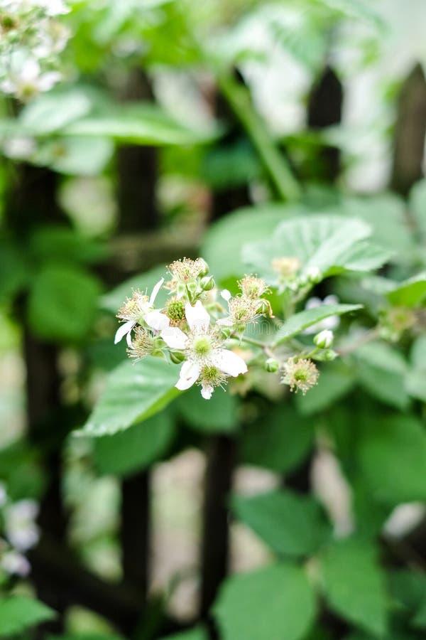 En blomma av ett hallon Blomninghallon i trädgården Ung grodd av hallon i vår royaltyfri fotografi