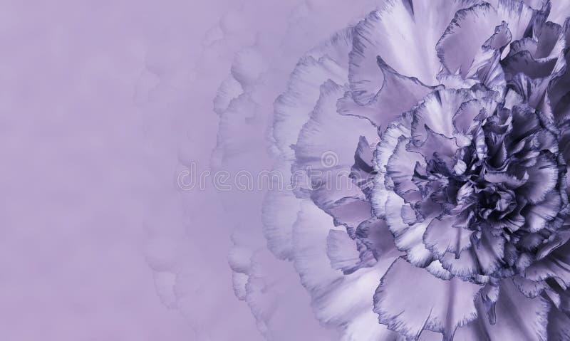 En blomma av en purpurfärgad nejlika på en violett monophonic bakgrund Närbild Blom- bakgrund för en vykort arkivfoto