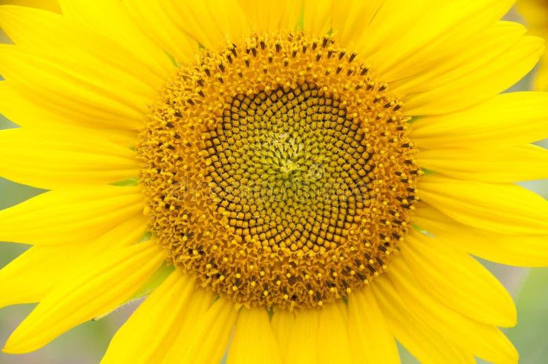 En blomma av en solros fotografering för bildbyråer