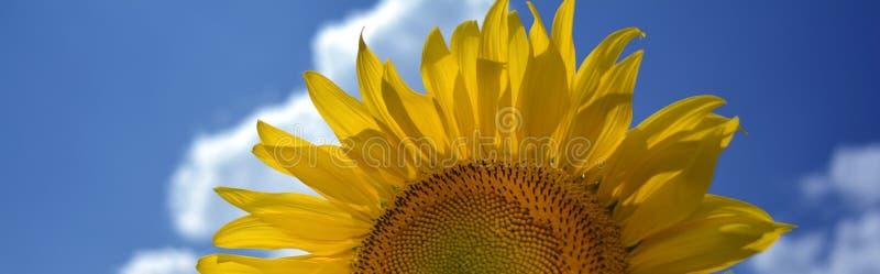 En blomma av en solros mot en blå himmel och en vit fördunklar fotografering för bildbyråer