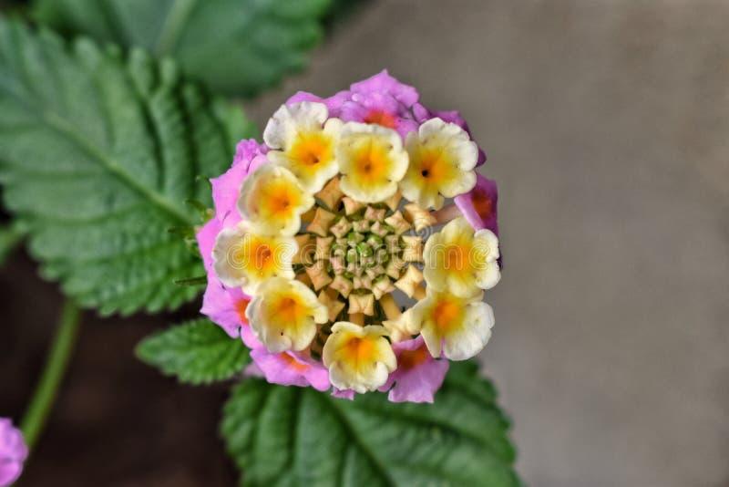 En blomma för litllerosa färg- och gulingsommar fotografering för bildbyråer